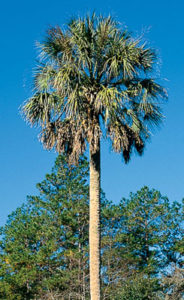 sabal_palm
